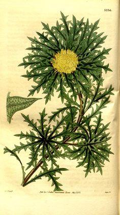 Dryandra armata. v.60 [new ser.:v.7] (1833) - Curtis's botanical magazine. - Biodiversity Heritage Library
