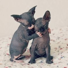 """Naked Cats Uno and Dos discharged after refusing to at least grow fur. """"It's a faith issue"""" simply won't work in our ranks. When after all is said and done, you're two God-awful-ugly hairless whatever's..."""