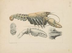 Historical illustration of a crayfish.
