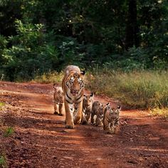 "Discovery on Instagram: """"Madnapurexpress."" #TigerTuesday . Photo + Caption: AjitKulkarni (@ajit.kulkarni48.ak . . #tiger #wildlife #naturephotography…"" Animals And Pets, Cute Animals, Photo Caption, Pet Puppy, Africa Travel, European Travel, Big Cats, Travel Around The World, Animals Beautiful"