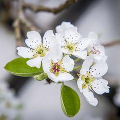 Blüten von einem Birnenbaum im Tierpark Herberstein, Steiermark (Österreich)