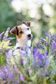 Jack Russell Terrier Isis Maria S. #parsonrussell #terrier #flowers #light #heavenly #pet #photography