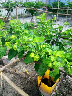 Spicy chilies growing in our greenhouse