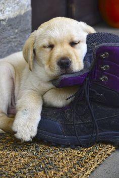 Too Cute - Labrador Puppy!  www.kevinscatalog.com