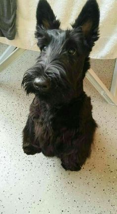 """""""Can I have a bite, too?"""" Scottie sitting pretty for a treat. Cute Puppies, Cute Dogs, Dogs And Puppies, Doggies, Scottish Terriers, Irish Setter, Cute Friends, Animals And Pets, Baby Animals"""