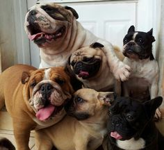 PUG AND BULLDOGS. IT'S LIKE A FAMILY PORTRAIT. LOOK AT THEM SMILING.
