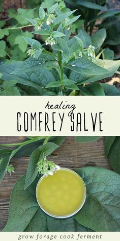 Learn how to make your own homemade healing comfrey salve. Comfrey has many medi… Learn how to make your own homemade healing comfrey salve. Comfrey has many medicinal benefits and is excellent for helping to heal minor wounds. Cold Home Remedies, Natural Health Remedies, Herbal Remedies, Natural Cures, Holistic Remedies, Natural Medicine, Herbal Medicine, Cold Medicine, Comfrey Salve