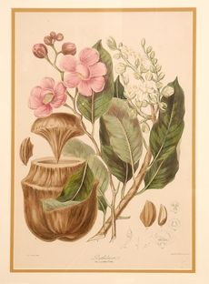 Allpress Antiques Furniture Melbourne Victoria Australia: Twining - 'Illustrations of the Natural Orders of Plants' Melbourne Victoria, Victoria Australia, The Past, Illustrations, Antiques, Natural, Plants, Painting, Furniture