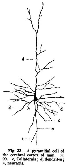 pyramidal cell of the cerebral cortex of man