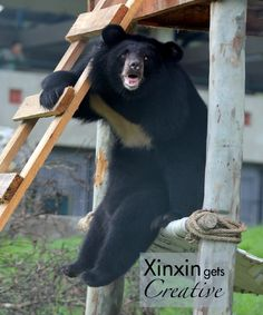 It doesn't matter how much thought the horticulture team puts in to a piece to keep the bears stimulated – they will almost always find another use for it.  Xin Xin amazed us all with her moment of inspiration as she explored her new enclosure at our Vietnam sanctuary. While the team thought they'd made the bears a handy ladder – Xin Xin had other ideas. She knew that this was either a clever window or a fresh new seating design. Have a creative #moonbearmonday everyone!