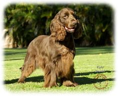 Field Spaniel | Trianing the field spaniel can take time but the effort is worthwile; this breed makes an excellent show dog and is easily trainable after only a few sessions.