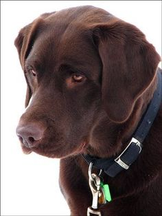 Chocolate Lab - Just like Duke.......in memory of DUKE....my dear friend Ashley's baby went to Pup Heaven on 11-12-14........Mpp