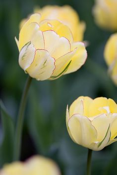Tulips, Royal Botanical Gardens, Canada
