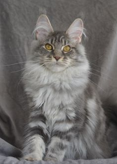 Maine Coon Cat .... beautiful! Reborn To Love Cool Kiss femelle blue silver blotched tabby 6 mois par Solenn Hélias