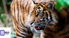 [Nat Geo Wild Documentary] Queen Tiger Discovery Channel Animals HD 720p