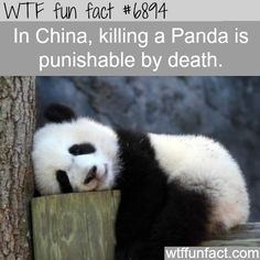 Kill a panda or endangered animals in China can result in death - WTF fun fact