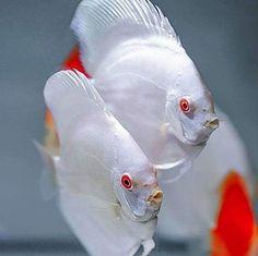 Aquarium Care Tips for Saltwater Fish Diskus Aquarium, Tropical Fish Aquarium, Tropical Fish Tanks, Tropical Freshwater Fish, Freshwater Aquarium Fish, Oscar Fish, Betta Fish Types, Fish Breeding, Discus Fish