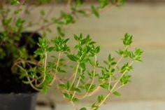 Keukentijm (plant) - De Bascule-2