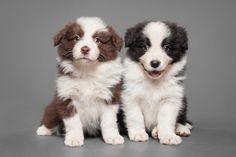 Little border collie pups