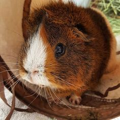 Florence Mercier St-P. St P, Guinea Pigs, Photo And Video, Instagram, World Animals