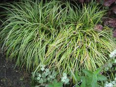17. Carex 'Silver Sceptre' Herbaceous Border, Burgundy Color, Hyde, Color Themes, Grass, Herbs, Silver, Decor, Decoration