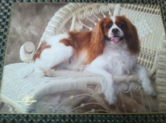 """""""Sweetie"""" Cavalier King Charles Spaniel  """"...Such a Princess!..."""""""