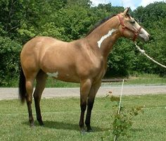 Sheza Sassy Sanbar, a buckskin overo Paint mare. I think it might be frame overo, quite minimally marked but I'm not sure about that white area almost under the belly.