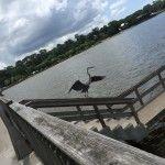 Wings of the Heron Fairhope Alabama, Heron, Summer 2015, Wings, Couple, Pets, Travel, Animals, Viajes