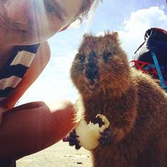 I have made a new friend today on rottnest   #quokka - love   ______________________________  http://ift.tt/1pynuNU ______________________________ #traveling #tourist #trip #worldtrip #visiting #visit #vibes #tourism #world #australia #city #roadtrip #globetrotter #summer #girl #sporty #fitness #rottnestisland #ontour #brisbane #sydney #oz #surfing #westcoast #perth #westernaustralia #flight #workandtravel #skinny by marry_rei http://ift.tt/1L5GqLp
