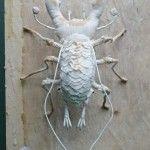 Specimen beetle small