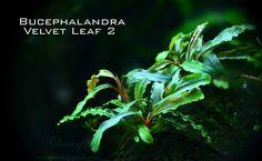Bucephalandra velvet leaf 2