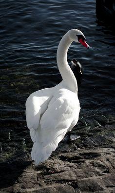 Swan - A beautiful swan in switzerland