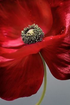 Poppy By Mandy Disher Garden Pictures Flowers Red Poppies Poppies Fotografia Macro, Red Poppies, Belle Photo, Planting Flowers, Beautiful Flowers, Floral, Plants, Photos, Painting