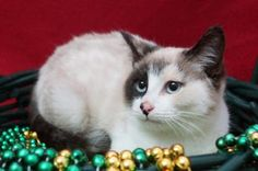 Petango.com – Meet Dana (C14-254), a 4 months 21 days Siamese / Domestic Shorthair available for adoption in LEBANON, TN