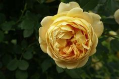 Golden Celebration very large, deep cupped flowers of a quite unusual deep and rich golden yellow and exceptional fragrance. David Austin, Beautiful Roses, Fragrance, Golden Yellow, Canes, Arches, Celebration, Amazing, Strong