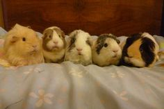 Five Guinea pigs on a bed by Candyfloss-Unicorn