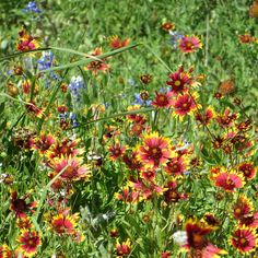Wildflowers in the Texas Hill Country.  www.txtrvlr.me