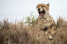 cheetah in Sabi Sabi. Check out more here.