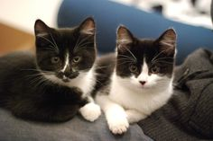 Tuxedo Kittens: Photos, Pictures and Information. Cute kittens too. I Love Cats, Crazy Cats, Cool Cats, White And Black Cat, White Cats, Pretty Cats, Beautiful Cats, Tuxedo Kitten, Gatos Cool