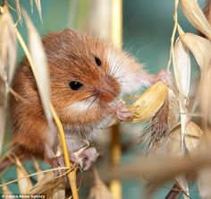 HARVEST MOUSE The tiny creatures rely almost completely on hearing to find their way around and can pick up the smallest of vibrations from up to seven meters away. The species is on the comeback after once being considered a near-threatened species. The harvest mouse, or Micromys minutus, is native to Europe and Asia. It is typically found in fields of cereal crops, in reed beds and in other vegetation. Social climber: Preparing to clamber high in search of food once again