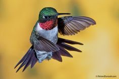 ruby throat hummingbird. I want to take a pic like this.haha