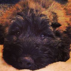 Tuckered out! Baloo the bouvier