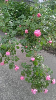 My Patio Roses B*HUE*TIFUL in Pink!