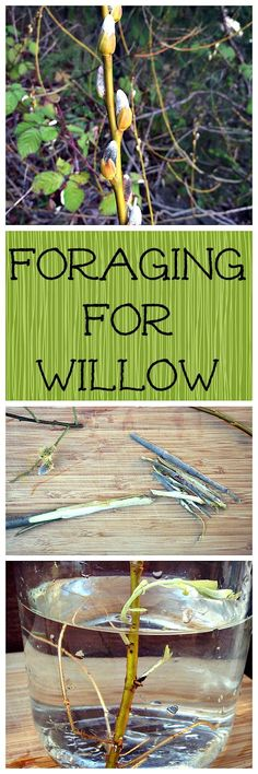 Willow is a great medicinal and very useful plant. You can even use it for basket weaving!
