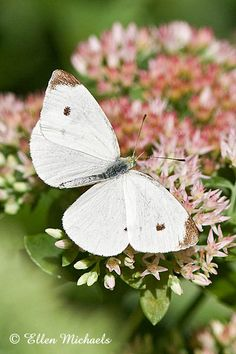 Cabbage white butterfly- these were like the most common butterflies I saw growing up (and their caterpillars)