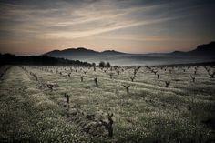 Sus viñas viejas y un microclima especial son el secreto de los grandes vinos de Pago Los Balancines.