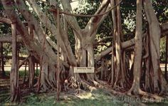 The Great Banyan Tree, Thomas A. Edison Winter Home Fort Myers Florida