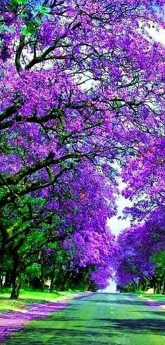 Blossoming Jacaranda trees in Sydney, Australia • photo: cheyanne48 on Flickr