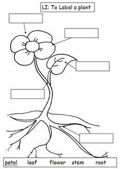 Parts of a plant and flower. Worksheets, diagram, and