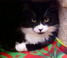 Patriotic Kittens   Tiny Little Patriotic Abraham, a Tuxedo & Black Mask & Butler Kitten ...